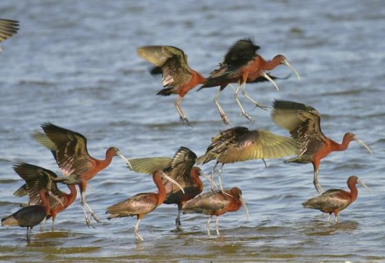 Glossy ibis flock in Jamaica Bay. Photo by Don Riepe, American Littoral Society.