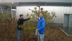 Volunteers pick pine cones. Wear gloves!