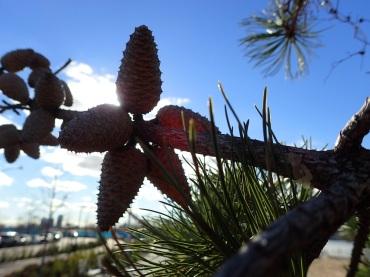 Pitch pine.