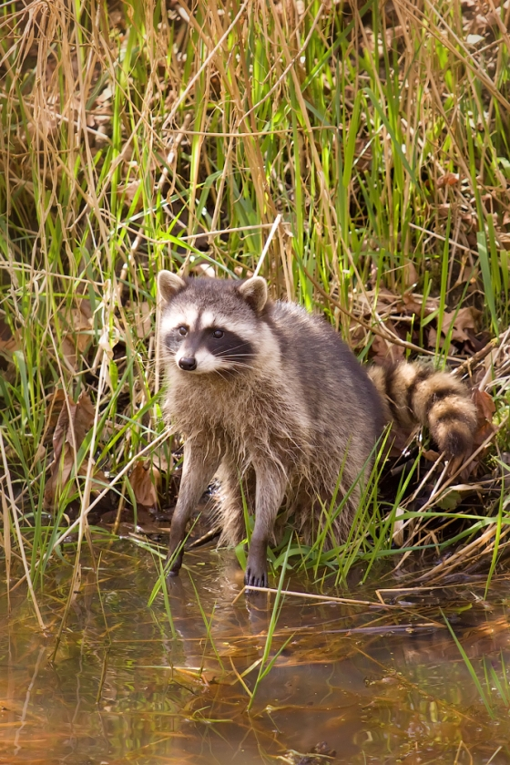 racoon_in_nisqually_national_wildlife_refuge