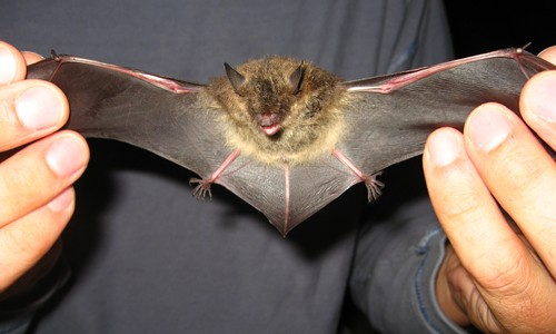littlebrownbat3